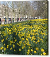 Daffodils In St James Park London Acrylic Print