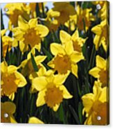 Daffodils In The Sunshine Acrylic Print