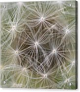 Dandelion Close-up. Acrylic Print