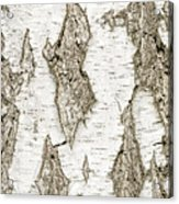 Detail Of Brich Bark Texture Acrylic Print
