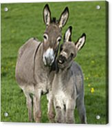 Donkey Mother And Young Acrylic Print