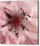 Double Dusty Rose Poppy From The Angel's Choir Mix Acrylic Print