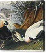 Eider Duck Acrylic Print