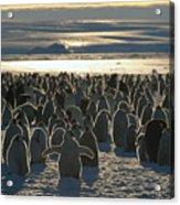 Emperor Penguin Aptenodytes Forsteri Acrylic Print by Pete Oxford