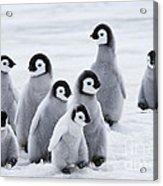 Emperor Penguin Chicks Acrylic Print