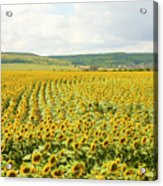 Field With Sunflowers Acrylic Print