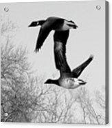 Flying Together Acrylic Print