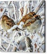 3 Frosty Friends Acrylic Print