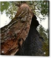Giant Sequoia Trees Acrylic Print