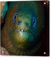 Golden Moray Eel Acrylic Print