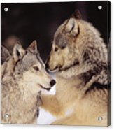 Gray Wolves Acrylic Print