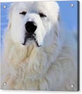 Great Pyrenees Acrylic Print