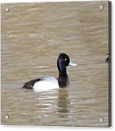 3 Greater Scaup  4060 Acrylic Print