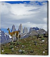 Guanacos In Torres Del Paine Acrylic Print