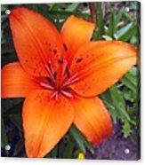 Hemerocallis Flower Acrylic Print