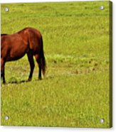 Horse Grazing Acrylic Print