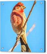 House Finch Tiny Bird Perched On A Tree Acrylic Print