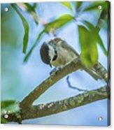 Huthatch Bird  Nut Pecker In The Wild On A Tree Acrylic Print