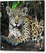 Jaguar Panthera Onca, Pantanal Acrylic Print