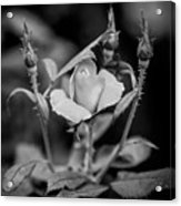 Knockout Roses Painted Bw Acrylic Print