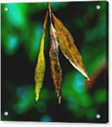3 Leaves Acrylic Print