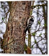 Lesser Spotted Woodpecker Acrylic Print