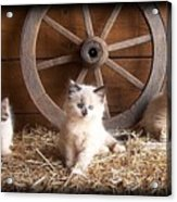 3 Little Kittens With The Wagon Wheel. Acrylic Print