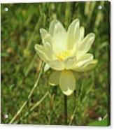 Lotus Flower In Bloom  Acrylic Print