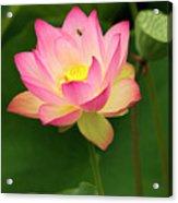 Lotus Acrylic Print