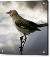 Mockingbird Acrylic Print by Brian Wallace