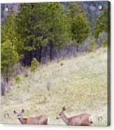 Mule Deer In The Pike National Forest Acrylic Print