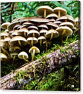 Mushrooms Acrylic Print