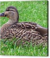 New Zealand - Female Mallard Duck Acrylic Print