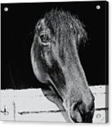 Noble Stallion  Acrylic Print