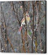 Northern Female Cardinal  Acrylic Print