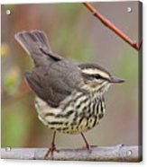Northern Waterthrush Acrylic Print