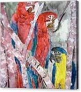 3 Parrots Acrylic Print