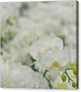 Phalaenopsis Acrylic Print
