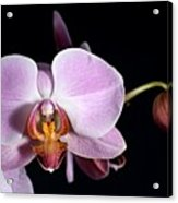 Pink Orchid V Acrylic Print