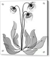Pitcher Plant Flowers, X-ray Acrylic Print