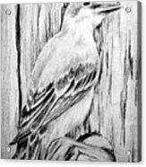 Pitirre Acrylic Print