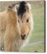 Pony On Dartmoor Acrylic Print