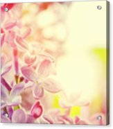 Purple Spring Lilac Flowers Blooming Close-up Acrylic Print