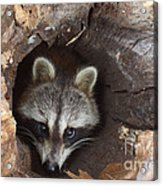 Raccoon Procyon Lotor Acrylic Print
