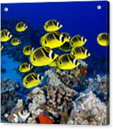 Racoon Butterflyfish Acrylic Print