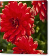 Red Flower Close Up Acrylic Print