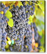 Red Grapes Acrylic Print