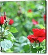 Red Roses Garden Spring Season Acrylic Print