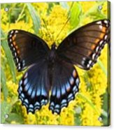 Red-spotted Purple Acrylic Print