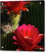 Red Torch Cactus  Acrylic Print